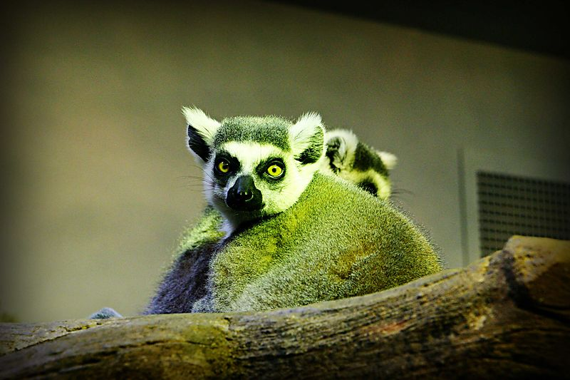 Lemurlooking